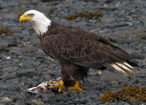 800px-2010-bald-eagle-kodiak